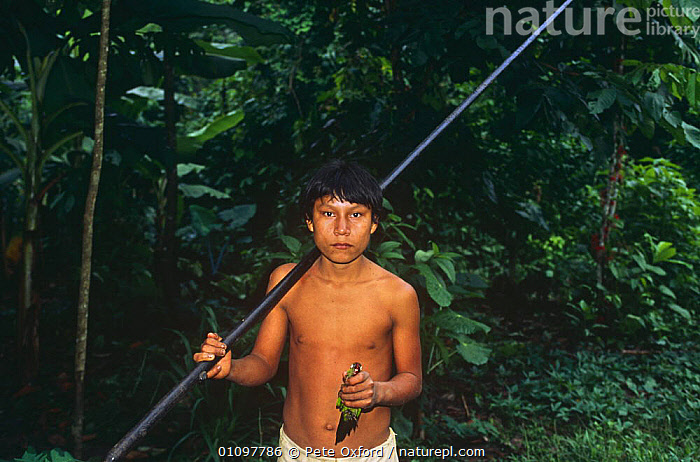 Indian with blowdart used to shoot Maroon tailed parakeet, Llanchamacocha, Ecuador Amazon,, BIRDS,CULTURES,HUNTING,HUNTING FOOD,PEOPLE,SOUTH AMERICA,TRADITIONAL,TRIBAL,TRIBES,TROPICAL,TROPICAL RAINFOREST,TROPICS,WEAPONS, Pete Oxford