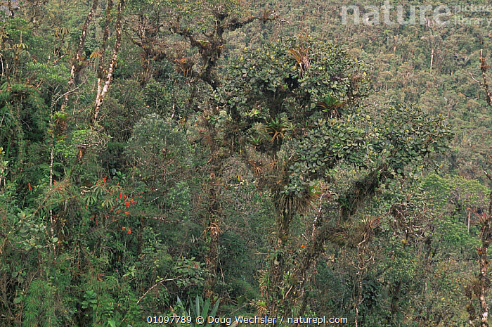 Cloud forest habitat at 2500m, in the Andes, Zamora Chinchipe, Ecuador, South America, CLOUD FOREST,HABITAT,HIGHLANDS,HORIZONTAL,MOUNTAINS,PLANTS,SOUTH AMERICA,TREES,TROPICAL, Doug Wechsler
