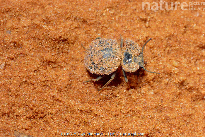Eurychora beetle species, sand on back for camouflage South Africa, AFRICA,CAMOUFLAGE,COLEOPTERA,DESERT,DESERTS,DISGUISE,HORIZONTAL,INSECT,INSECTS,INVERTEBRATES,KPM,SAND,SOUTHERN AFRICA,VERTICAL, PREMAPHOTOS