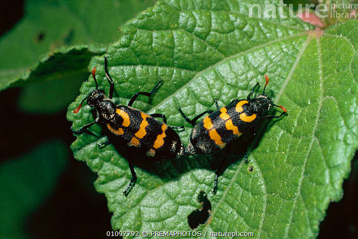 Lunate blister beetles mating {Decapotoma lunata} South Africa. Stripes for warning coloration, AFRICA, BEETLES, BEHAVIOUR, BLISTER-BEETLES, COLEOPTERA, COPULATION, INSECTS, INVERTEBRATES, REPRODUCTION, STRIPES, PREMAPHOTOS