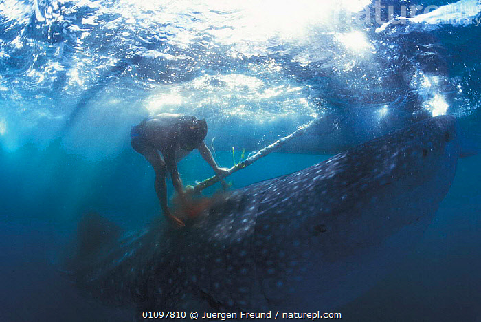 Fisherman hooking Whale shark {Rhincodon typus} Pamilacan, Bohol, Philippines, ASIA,CRUELTY,FISH,FISHERMAN,FISHERMEN,FISHING,HOOKING,HORRIFIC,HUNTING,JFR,MARINE,PACIFIC,PACIFIC OCEAN,PEOPLE,PHILIPPINES,SOUTH EAST ASIA,TRADITIONAL,UNDERWATER,SHARKS, Fish,SOUTH-EAST-ASIA, Jurgen Freund