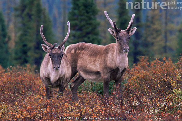 Two immature male Caribou {Rangifer tarandus} Northern Quebec, Canada, ARTIODACTYLA,AUTUMN,CANADA,CERVIDS,DEER,GROUPS,immature,JUVENILE,MALES,MAMMALS,Pair,subadult,TAIGA,two,velvet,VERTEBRATES,North America, Jose Schell