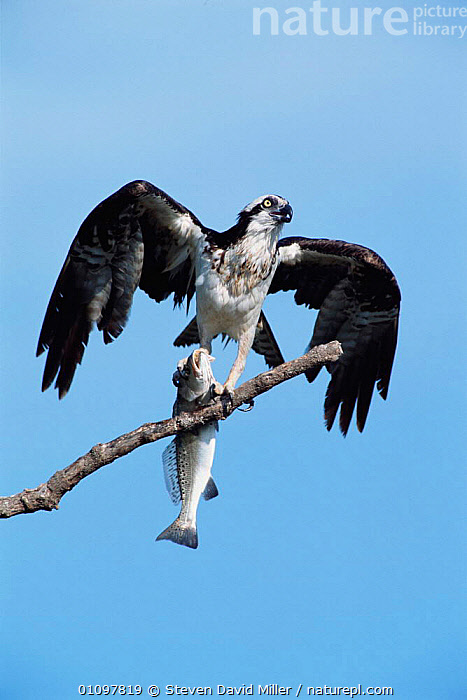 Osprey with fish prey, wings spread to dry feathers after dive {Pandion haliaetus} Everglades NP, Florida, USA, BIRD,,EVERGLADES,FLORIDA,NP,ONE,PREY,RAPTOR,RESERVE,SDM,USA,VERTICAL,WINGS ,BIRDS OF PREY,NORTH AMERICA,NATIONAL PARK, Steven David Miller