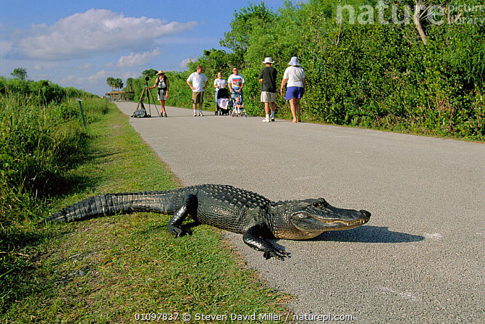 American alligator on road with tourists. Everglades, FL, USA {Alligator mississippiensis}, FLORIDA,REPTILE,RESERVE,ALLIGATORS,WALKING,PEOPLE,VALLEY,TOURISM,REPTILES,ROADS,SHARK,SCENICS,TOURISTS,NORTH AMERICA,CROCODYLIA, ALLIGATORS, Steven David Miller