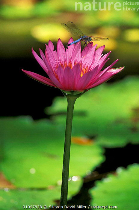 Waterlily flower {Nymphaea sp} with Green darner dragonfly {Anax junius} Florida, USA, PURPLE,JUNIUS,NORTH,WETLANDS,AMERICA,INSECTS,FLOWERS,INSECT,ODONATA,INVERTEBRATES,North America, Steven David Miller
