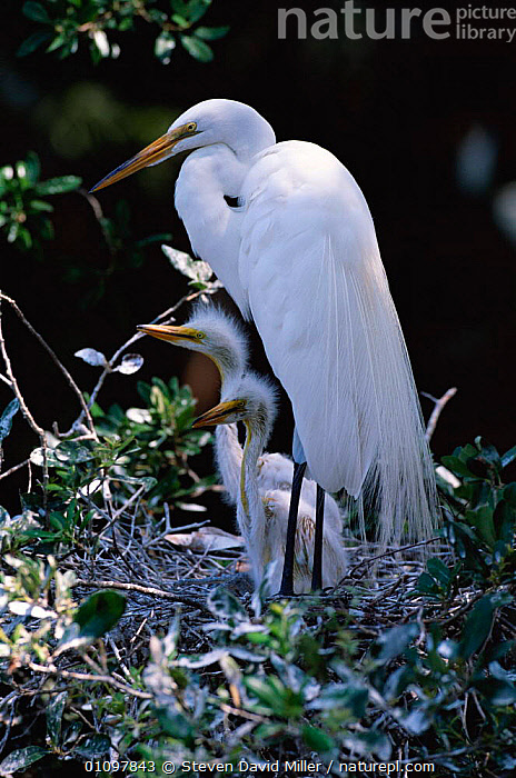 Great egret with chicks {Ardea alba} Florida USA, BABIES, BIRDS, CHICKS, FAMILIES, HERONS, USA, VERTEBRATES, VERTICAL, WADERS, WETLANDS,North America, Steven David Miller