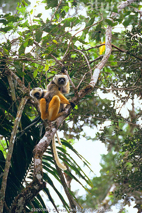 Diademed sifaka with baby up tree {Propithecus diadema diadema} Mantady Reserve, Madagascar, BABIES,BABY,ENDANGERED,FAMILIES,FEMALES,MADAGASCAR,MAMMALS,PO,PRIMATE,PRIMATES,RESERVE,THREATENED,TREE,TREES,VERTICAL,YOUNG,PLANTS,LEMURS, Pete Oxford
