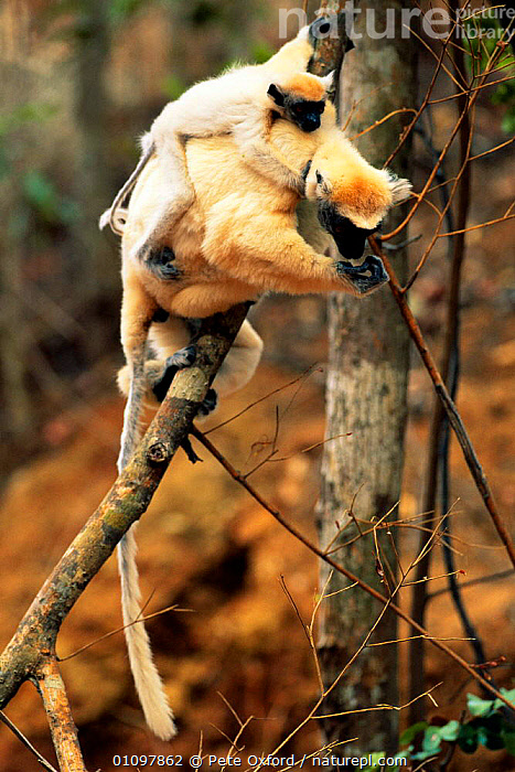 Golden crowned sifaka carrying baby {Propithecus tattersalli} Madagascar, BABIES,BABY,FAMILIES,FAMILY,MADAGASCAR,MAMMAL,MAMMALS,MOTHER,PO,PRIMATE,PRIMATES,TREE,TREES,VERTICAL,YOUNG,PLANTS,LEMURS, Pete Oxford