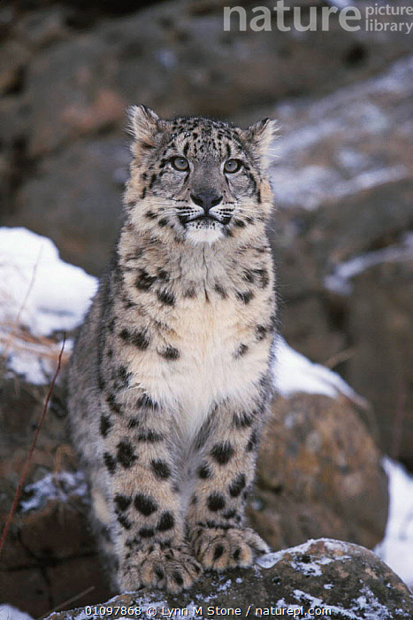 Snow leopard sitting portrait in snow {Panthera uncia}, BIG CATS,CAPTIVE,CARNIVORE,CARNIVORES,CAT,COLD,ENDANGERED,LEOPARDS,LS,MAMMAL,MAMMALS,ONE,PORTRAIT,SPOTS,THREATENED,VERTICAL,WEATHER, Lynn M Stone