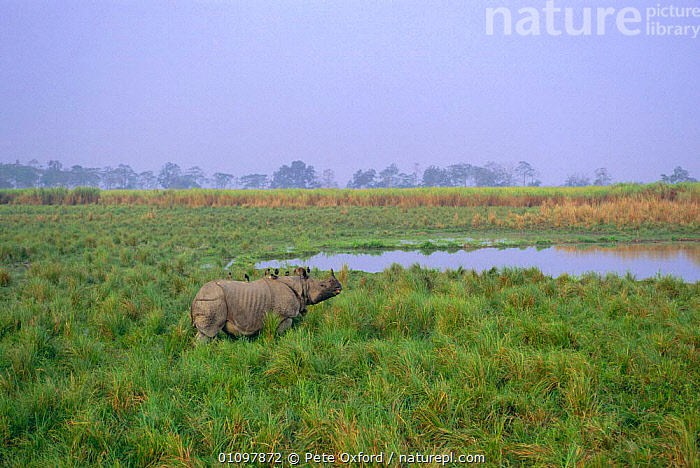 Indian rhino in grass {Rhinoceros unicornis} END Kaziranga NP, Assam India, ASIA,ASSAM,ENDANGERED,HORIZONTAL,INDIA,INDIAN SUBCONTINENT,KAZIRANGA,MAMMAL,MAMMALS,NATIONAL PARK,NP,PERISSODACTYLA,PO,RESERVE,THREATENED,WATER rhino, rhinoceros, rhinos,, Pete Oxford