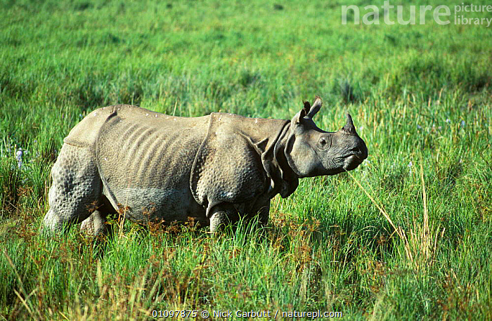 Indian rhino profile {Rhinoceros unicornis}  Kaziranga NP, Assam India, ASIA,ASSAM,ENDANGERED,GRASS,HORIZONTAL,INDIA,INDIAN SUBCONTINENT,KAZIRANGA,MAMMAL,MAMMALS,NATIONAL,NATIONAL PARK,NP,ONE,PERISSODACTYLA,PLANTS,PORTRAIT,PORTRAITS,PROFILE,RESERVE,THREATENED rhino, rhinoceros, rhinos,, Nick Garbutt