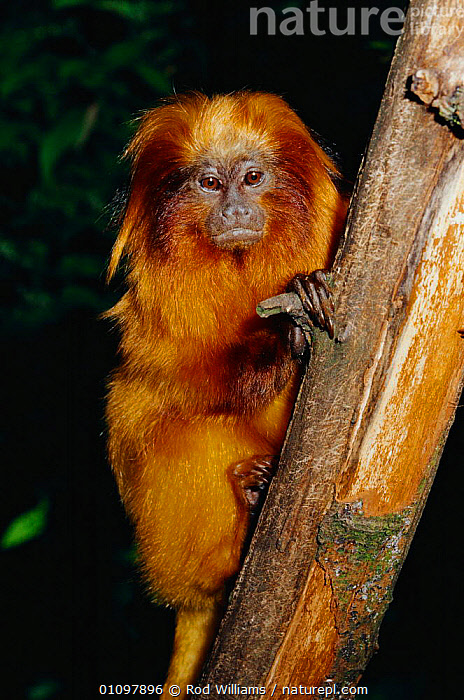 Golden lion tamarin in tree {Leontopithecus rosalia} native to Brazil, South America, CAPTIVE,ENDANGERED,MAMMALS,MARMOSETS,ONE,PORTRAITS,PRIMATE,PRIMATES,RWI,SOUTH AMERICA,THREATENED,VERTICAL, Liontideus, Rod Williams
