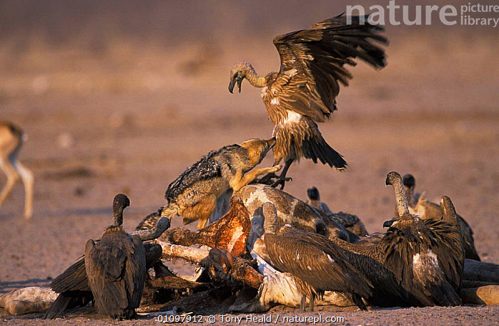 Black backed jackal {Canis mesomelas} attacking Vultures at carcass. Etosha NP, Namibia, ACTION,AFRICA,AGGRESSION,BEHAVIOUR,BIRDS,CARCASS,CARNIVORE,CARNIVORES,COMPETITION,ETOSHA,FEEDING,HEALD,HORIZONTAL,JACKAL,MAMMAL,MAMMALS,MIXED SPECIES,NAMIBIA,NP,RESERVE,SCAVENGERS,SCAVENGING,SOUTHERN AFRICA,TH,CONCEPTS,NATIONAL PARK,DOGS,CANIDS, Tony Heald