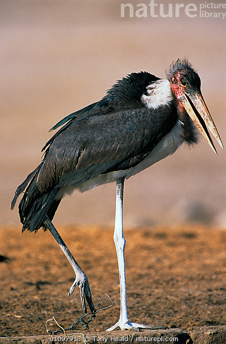 Marabou stork {Leptoptilos crumeniferus} with foot caught in snare, Etosha NP, Namibia, BIRDS,HORRIFIC,NP,RESERVE,SOUTHERN AFRICA,STORKS,TRAPPING,VERTEBRATES,VERTICAL,WOUNDED,National Park, Tony Heald