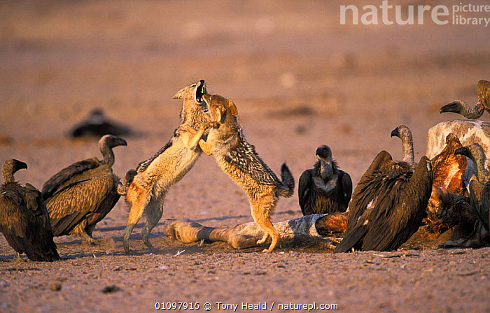 Black backed jackals fight over carcass {Canis mesomelas} Etosha NP, Namibia, ACTION,AFRICA,AGGRESSION,BEHAVIOUR,BIRDS,CARCASS,CARNIVORE,CARNIVORES,ETOSHA,FIGHTING,HORIZONTAL,MAMMAL,MAMMALS,MIXED SPECIES,NAMIBIA,NP,RESERVE,SCAVENGERS,SCAVENGING,SOUTHERN AFRICA,TH,TWO,VULTURES,CONCEPTS,NATIONAL PARK,DOGS,CANIDS, Tony Heald