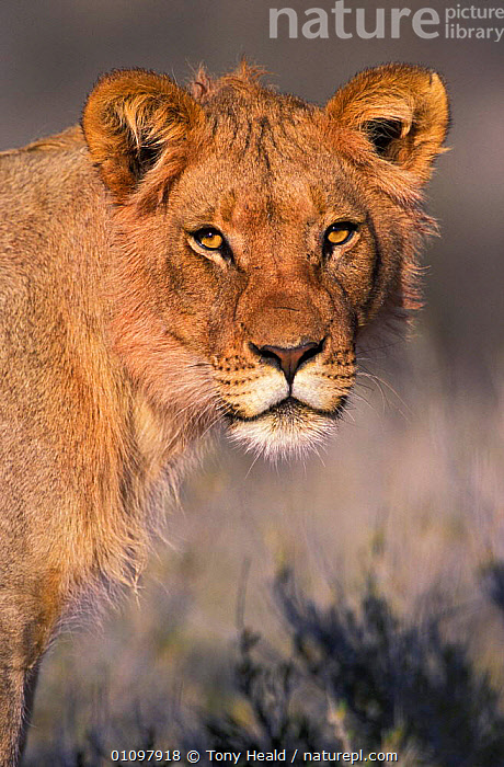 Lion portrait, young male {Panthera leo} Kgalagadi TP, South Africa, AFRICA,CARNIVORE,CARNIVORES,FACE,FACES,JUVENILE,KGALAGADI,MALES,MAMMAL,MAMMALS,PORTRAITS,RESERVE,SOUTHERN AFRICA,TH,TP,VERTICAL,LIONS,BIG CATS, Tony Heald
