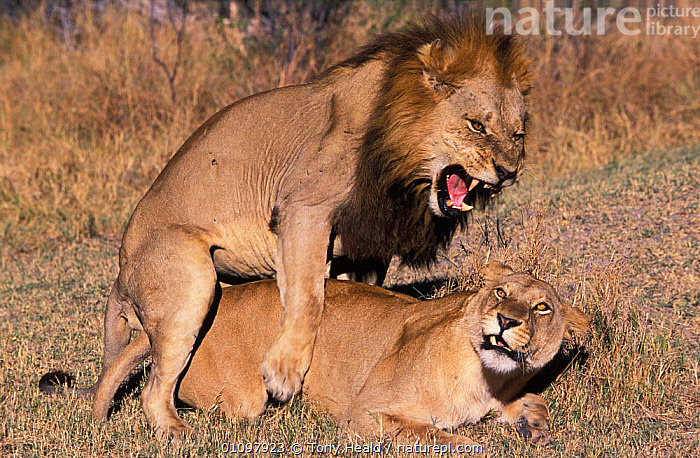 Lions mating {Panthera leo} Moremi WR, Botswana, Africa, AFRICA,AGGRESSION,BEHAVIOUR,BOTSWANA,CARNIVORE,CARNIVORES,FEMALE,HORIZONTAL,MALE,MALE FEMALE PAIR,MALES,MAMMAL,MAMMALS,MATING BEHAVIOUR,MOREMI,REPRODUCTION,RESERVE,SOUTHERN AFRICA,TH,TWO,VOCALISATION,WR,CONCEPTS,LIONS,BIG CATS, Tony Heald