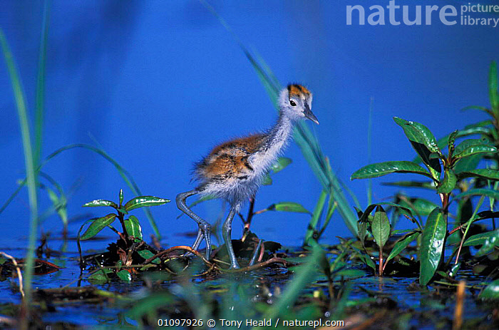 African jacana chick {Actophilornis africana} Chobe NP, Botswana, AFRICA,AFRICANA,BABIES,BIRD,BIRDS,BOTSWANA,CHICKS,CHOBE,CUTE,HORIZONTAL,NP,RESERVE,SOUTH,SOUTHERN AFRICA,TH,TONY,WETLANDS,YOUNG,NATIONAL PARK, Tony Heald