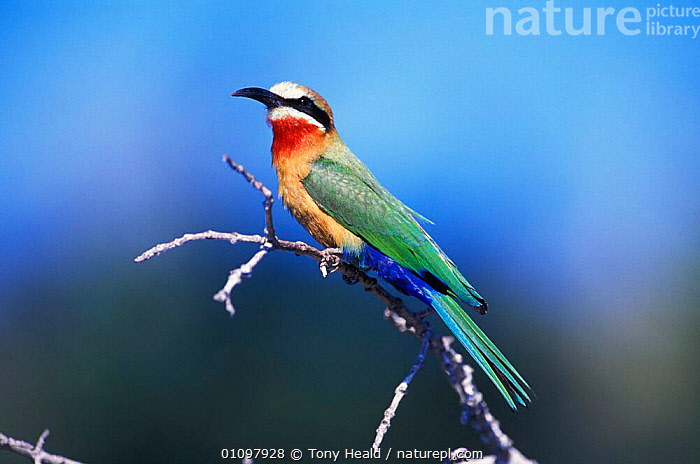 White fronted bee eater {Merops bullockoides} Chobe NP, Botswana, Africa, AFRICA,BIRD,BIRDS,BOTSWANA,CHOBE,COLOURFUL,HORIZONTAL,NP,ONE,PORTRAIT,PORTRAITS,RESERVE,SOUTHERN AFRICA,TH,NATIONAL PARK, Tony Heald