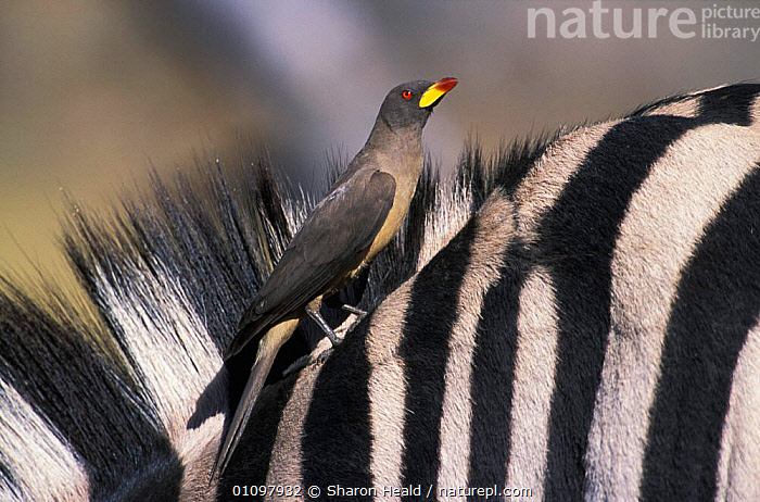 Yellowbilled oxpecker {Buphagus africanus} on Zebra Moremi WR, Botswana, Africa  ,  AFRICA, MAMMALS, Partnership, SYMBIOSIS, VERTEBRATES, VERTICAL, BIRDS, HORIZONTAL, OXPECKERS, STRIPES, YELLOW,Concepts  ,  Sharon Heald