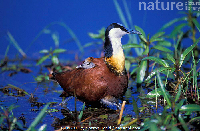 African jacana with chick under wing {Actophilornis africana} Chobe NP, Botswana, AFRICA,BABIES,BEHAVIOUR,BIRD,BIRDS,BOTSWANA,CARRYING,CHICKS,CHOBE,CUTE,FAMILIES,FAMILY,HORIZONTAL,NP,PARENTAL,PROTECTION,RESERVE,SOUTHERN AFRICA,TH,WETLANDS,YOUNG,NATIONAL PARK, Sharon Heald