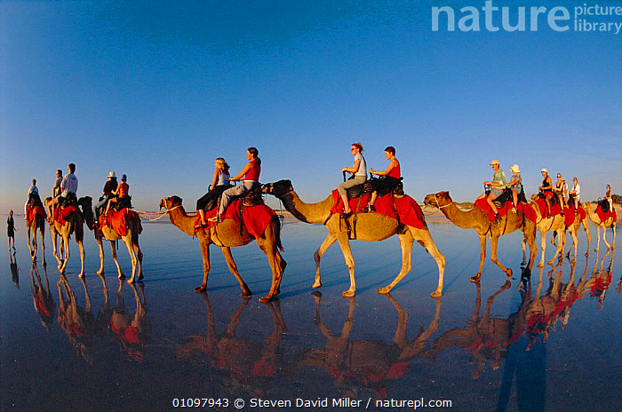 Tourists on camel ride Cable beach, Broome,  Western Australia, AUSTRALIA,BEACHES,CAMELS,DAVID,GROUPS,OUTSTANDING,PEOPLE,REFLECTIONS,RIDING,SAND,TOURISM, Steven David Miller