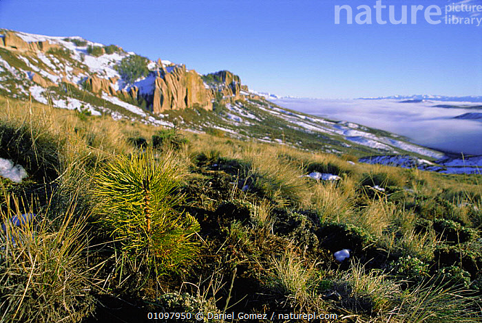 Pine tree planted on Patagonian steppe converting grasslands to forest, Patagonia,, HABITAT,LANDSCAPES,SCENICS,SEEDLINGS,SOUTH,TREES,SCENIC,LANDSCAPE,CONIFEROUS,AMERICA,DESTRUCTION,PINUS,GRASSLAND,PROVINCE,PLANTS,SOUTH-AMERICA, Daniel Gomez