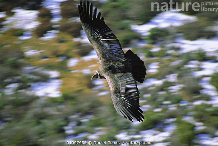 Andean condor juvenile female in flight {Vultur gryphus} Patagonian steppe,, AMERICA,ARGENTINA,SOARING,SOUTH AMERICA,BIRD,BIRDS,FLYING,CONDORS,SOUTH,FEMALES,PROVINCE,PATAGONIA,VULTURES, Daniel Gomez