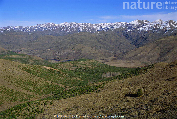 Pine trees planted on steppe converting grasslands into pine forest Patagonia,, MOUNTAINS,BARILOCHE,LANDSCAPES,TREE,PROVINCE,RIO,AMERICA,SOUTH,PINUS,SCENIC,LANDSCAPE,PATAGONIAN,SCENICS,CONIFEROUS,SEEDLINGS,GRASSLAND,SOUTH-AMERICA, Daniel Gomez
