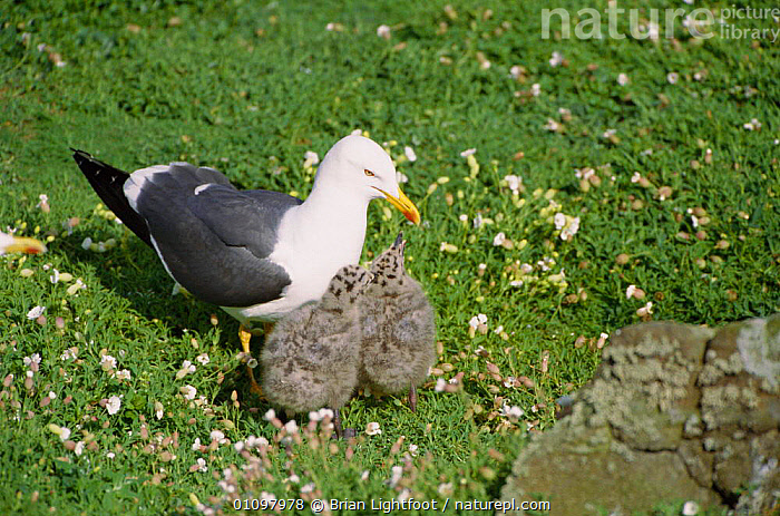 Lesser black backed gull with chicks {Larus fuscus} May Is, Scotland, UK, EUROPE,FAMILIES,FAMILY,GULLS,SEAGULLS,BABIES,SEABIRDS,BIRD,THREE,BIRDS,BRITISH, Brian Lightfoot