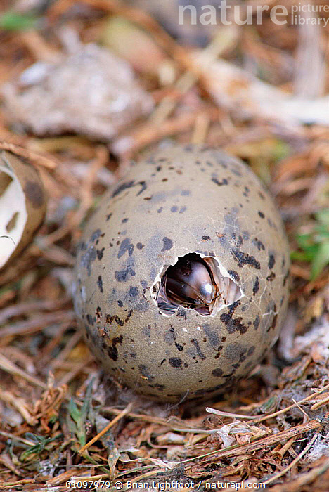 Lesser black backed gull chick hatching from egg {Larus fuscus} May Is, Scotland, UK, BIRD,BIRDS,BIRTH,BL,BRITISH,CHICKS,EGGS,EUROPE,GULL,HATCHING,HORIZONTAL,SCOTLAND,SEABIRD,SEABIRDS,SEAGULL,SEAGULLS,SPRING,UK,VERTICAL,UNITED KINGDOM,GULLS, Brian Lightfoot