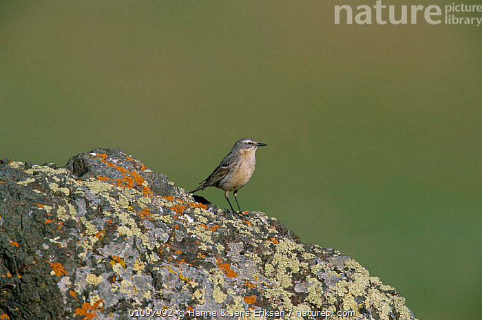 Rock / Water pipit {Anthus spinoletta} Aladag mts, Turkey, BIRD,BIRDS,EUROPE,HJE,HORIZONTAL,PASSERINE,PASSERINES,TURKEY,VERTICAL, Hanne & Jens Eriksen