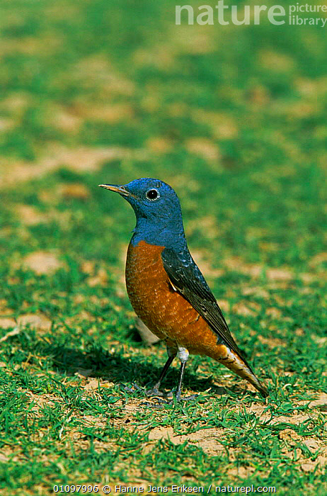 Mountain rock thrush male {Monticola saxatilis} Oman, VERTICAL,ARABIA,BIRD,MALES,BIRDS,THRUSHES, Hanne Jens Eriksen