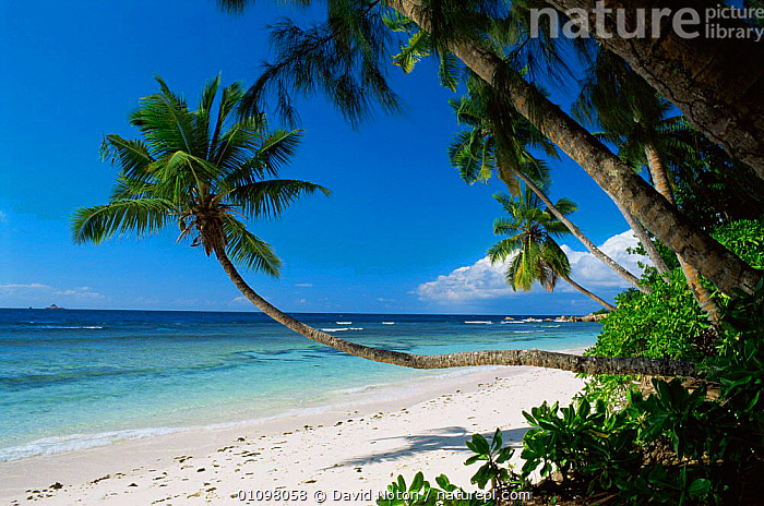 Palm trees on beach, La Digue, Seychelles, Indian Ocean, BEACHES,COASTAL WATERS,COASTS,HOLIDAYS,INDIAN OCEAN,ISLANDS,LANDSCAPES,MARINE,SEA,SHORELINE,TREES,TROPICAL,Concepts,Plants,INDIAN OCEAN ISLANDS, David Noton
