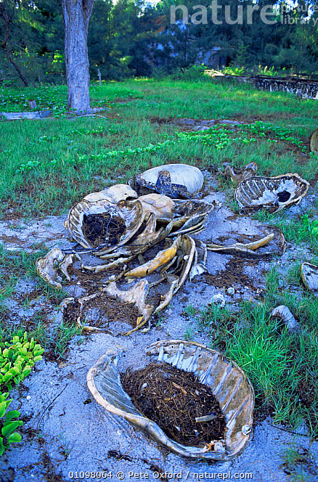 Turtle shells - the remains of animals killed for food, Astove Island, Seychelles, Indian Ocean, CONSERVATION,ENDANGERED,HUNTING FOOD,HUNTING TRADE,INDIAN OCEAN,MARINE,REPTILES,SEYCHELLES,SHELLS,TRADE,TROPICAL,TURTLES,VERTICAL,INDIAN OCEAN ISLANDS, Pete Oxford