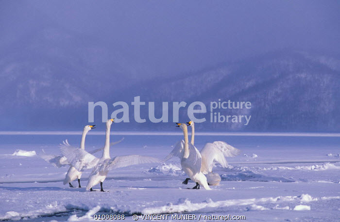 Whooper swans displaying on ice {Cygnus cygnus} Akan NP, winter, Hokkaido Japan  ,  AKAN,BIRDS,COLD,FOUR,GROUPS,HOKKAIDO,HORIZONTAL,ICE,JAPAN,NP,OUTSTANDING,SNOW,VMU,WATERFOWL,WHITE,WINTER,ASIA,NATIONAL PARK,WILDFOWL, Waterfowl  ,  VINCENT MUNIER