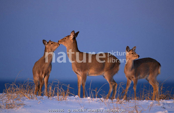 Sika deer {Cervus nippon} Furen Lake, Hokkaido, Japan  ,  ARTIODACTYLA,ASIA,GREETING,GROUPS,HOKKAIDO,JAPAN,MAMMALS,SNOW,THREE,VMU,WINTER  ,  VINCENT MUNIER