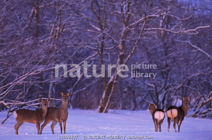 Sika deer group {Cervus nippon} Furen Lake, Hokkaido, Japan  ,  ARTIODACTYLA,HOKKAIDO,ICE,JAPAN,LANDSCAPES,MAMMALS,SNOW,VMU,WINTER,WOODLAND,WOODLANDS,ASIA  ,  VINCENT MUNIER