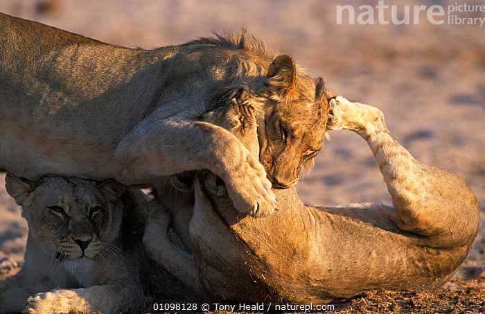 Lions playfighting {Panthera leo} Etosha NP, Namibia  ,  AFRICA,CARNIVORE,CARNIVORES,ETOSHA,FIGHT,FIGHTING,HORIZONTAL,HUMOROUS,MAMMAL,MAMMALS,NAMIBIA,NP,PLAY,RESERVE,SOUTHERN AFRICA,TH,THREE,CONCEPTS,AGGRESSION,COMMUNICATION,NATIONAL PARK,LIONS,BIG CATS  ,  Tony Heald