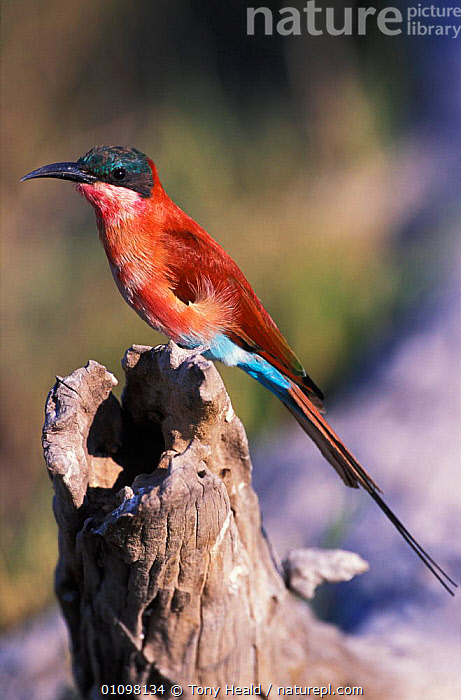 Carmine bee eater {Merops nubicus} Chobe NP, Botswana  ,  AFRICA,BIRD,BIRDS,BOTSWANA,CHOBE,NP,ONE,RESERVE,SOUTHERN AFRICA,TH,VERTICAL,NATIONAL PARK  ,  Tony Heald