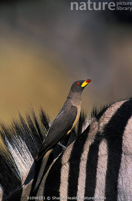 Yellowbilled oxpecker {Buphagus africanus} on Zebra Moremi NR, Botswana, Southern Africa  ,  OXPECKERS, RESERVE, VERTEBRATES, VERTICAL, AFRICA, BIRDS, MAMMALS, Partnership, SYMBIOSIS, YELLOW,Concepts  ,  Sharon Heald