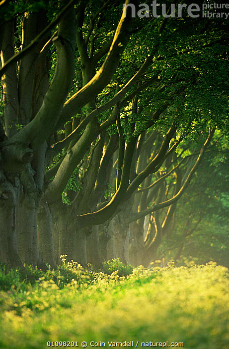 Avenue of Beech trees, Wimborne, Dorset, UK  ,  ABSTRACT,ENGLAND,EUROPE,PATTERNS,SUMMER,TREES,UK,VERTICAL,United Kingdom,Plants,British  ,  Colin Varndell