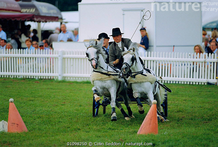 Scurry driving pony pairs at competition, New Forest Show, Hampshire, UK  ,  ACTION,EUROPE,MAMMAL,HORSES,PONIES,ENGLAND,MAMMALS,RUNNING,SPORT,WORKING,PEOPLE,PERISSODACTYLA,RACE,EQUINES  ,  Colin Seddon