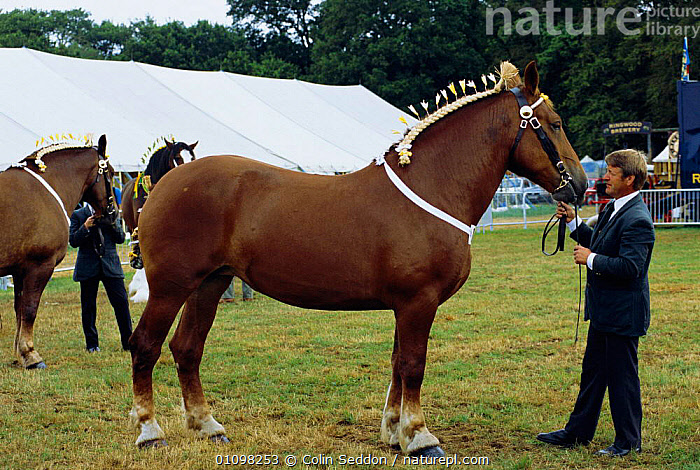 Suffolk punch heavy horse at New Forest show, Hampshire, UK  ,  PERISSODACTYLA,LIVESTOCK,COMPETITION,ENGLAND,HORSES,MAMMAL,EUROPE,MAMMALS,EQUINES  ,  Colin Seddon