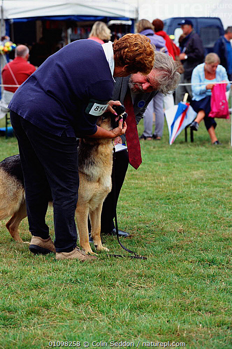 Judge inspecting teeth of German shepherd dog, New-Forest Show, Hampshire, UK. Alsatian  ,  CARNIVORE,CARNIVORES,COMPETITION,CS,ENGLAND,EUROPE,HAMPSHIRE,INSPECTING,JUDGE,MAMMAL,MAMMALS,PEOPLE,PET,PETS,SHOW,SHOWING,TEETH,UK,VERTICAL,UNITED KINGDOM,BRITISH,DOGS,CANIDS  ,  Colin Seddon