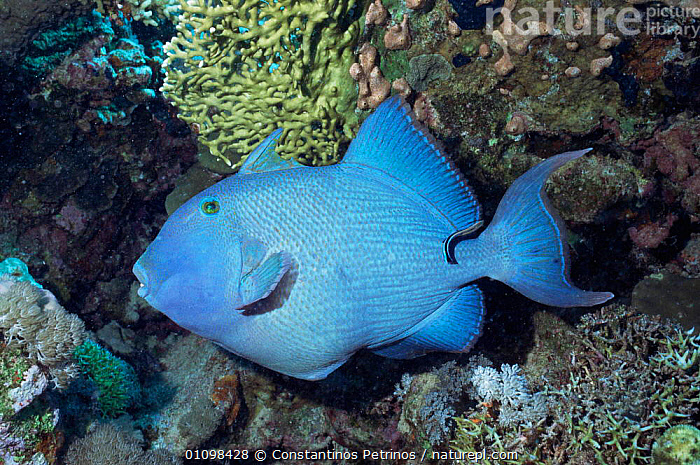 Blue triggerfish {Pseudobalistes fuscus} with Cleaner fish  Red Sea  ,  BLUE,CORAL REEFS,FISH,MARINE,OSTEICHTHYES,RED,TRIGGERFISH,TROPICAL,UNDERWATER,VERTEBRATES  ,  Constantinos Petrinos