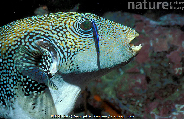 Map pufferfish + Cleaner fish {Arothron mappa} Andaman sea  ,  MIXED SPECIES,UNDERWATER,INDO PACIFIC,PACIFIC,MARINE,CLEANING,SYMBIOSIS,INDO,Concepts,Partnership  ,  Georgette Douwma