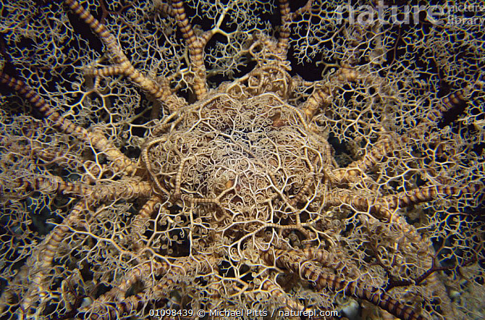 Basket star {Astroboa nuda} Madang, Papua New Guinea  ,  BASKET STARS,ECHINODERMS,HORIZONTAL,INDIAN OCEAN,INDO PACIFIC,INVERTEBRATES,MARINE,OPHIUROIDEA,PACIFIC,PACIFIC OCEAN,TROPICAL,UNDERWATER  ,  Michael Pitts