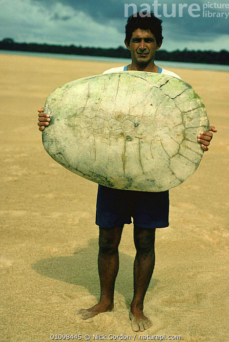 Caboclo fisherman holding up Arrau turtle shell {Podocnemis expansa} Roraima, Brazil  ,  BEACHES,CARAPACE,CHELONIA,COASTS,CULTURES,HUNTING FOOD,MAN,PEOPLE,REPTILES,SIDE NECKED TURTLES,SIZE,SOUTH AMERICA,TRIBES,TURTLES,VERTEBRATES,VERTICAL, Turtles  ,  Nick Gordon