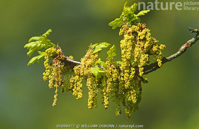 English oak spring leaf and catkins {Quercus robur} Wiltshire, England, UK  ,  CLOSE UPS,DICOTYLEDONS,ENGLAND,FAGACEAE,FLOWERS,PLANTS,SEEDS,SPRING,TREES,UK,Europe,United Kingdom,British  ,  WILLIAM OSBORN